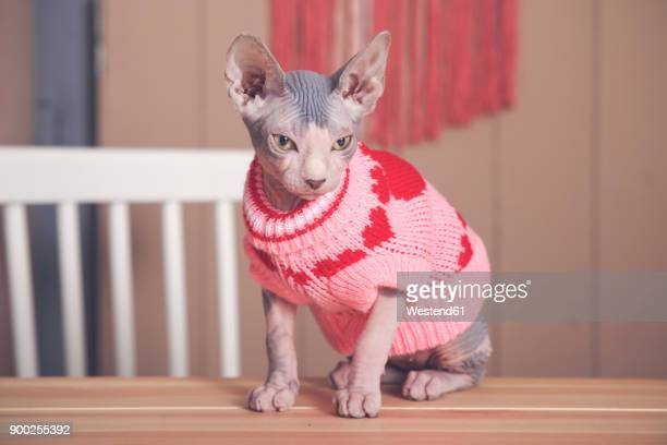 Portrait of Sphynx cat on table wearing pink pullover