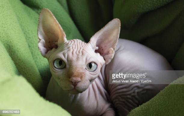 portrait of sphynx hairless cat relaxing on green towel - sphynx hairless cat stock photos and pictures
