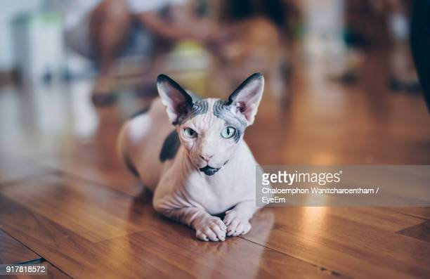 portrait of sphynx hairless cat sitting on hardwood floor - sphynx hairless cat stock photos and pictures