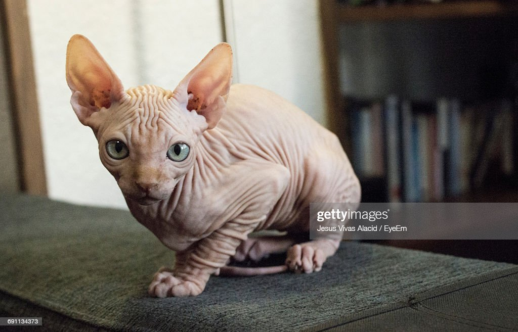 60 Top Sphynx Hairless Cat Pictures, Photos, & Images