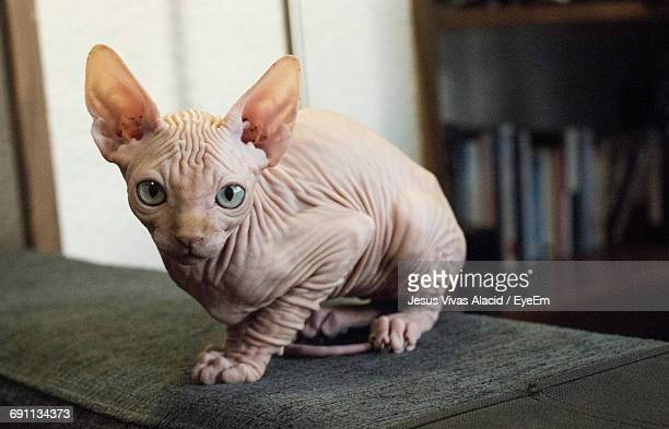 portrait of sphynx hairless cat sitting on sofa at home - sphynx hairless cat stock photos and pictures