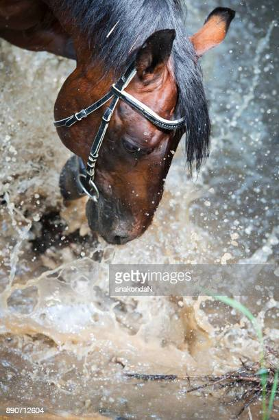 portrait of splashing beautiful bay horse. close up - bay horse stock photos and pictures