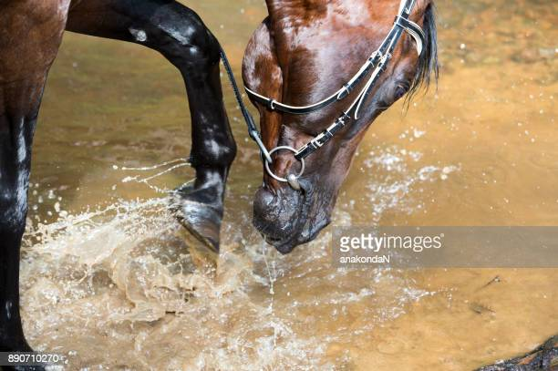 portrait of splashing horse in the river - bay horse stock photos and pictures