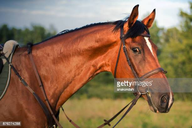 portrait of sportive horse