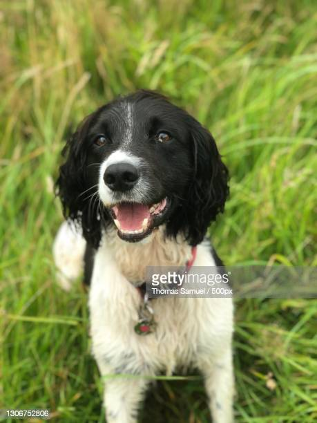 portrait of springer spaniel on field,combe martin,ilfracombe,united kingdom,uk - ilfracombe stock pictures, royalty-free photos & images