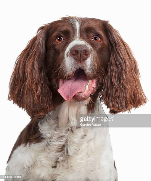 portrait of springer spaniel - gandee stock pictures, royalty-free photos & images