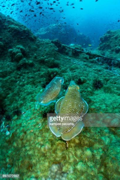 Portrait of Squid in Chumphon dive site, Thailand