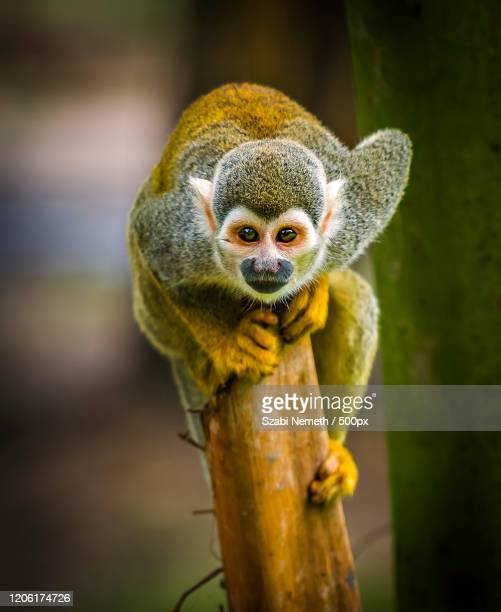 portrait of squirrel monkey (saimiri sciureus) - animals in the wild stock pictures, royalty-free photos & images