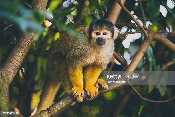 Portrait of squirrel monkey sitting on branch