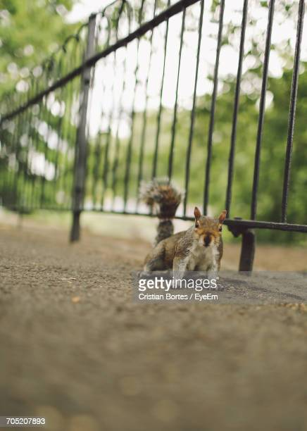 portrait of squirrel on road by railing - bortes stock pictures, royalty-free photos & images
