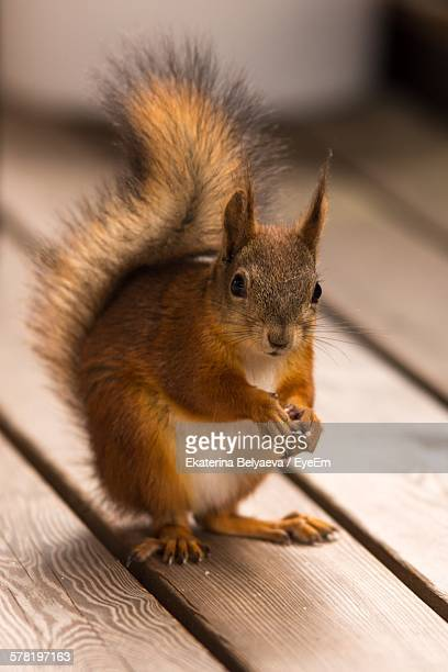 Portrait Of Squirrel On Wooden Table