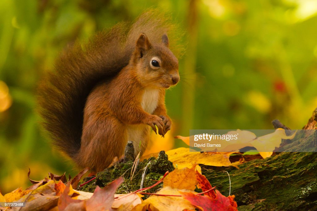 Portrait of squirrel, Scotland : ストックフォト