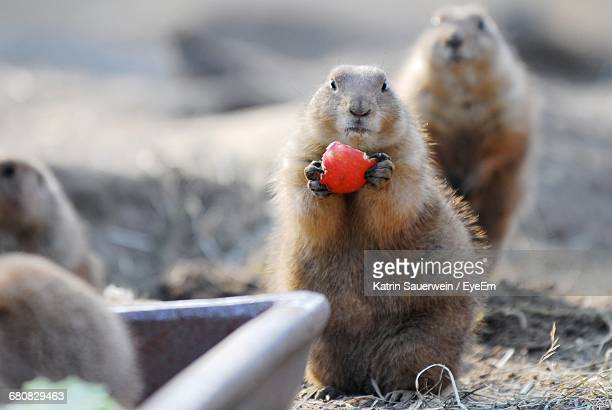portrait of squirrels - funny groundhog stock photos and pictures
