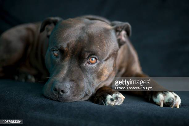 portrait of staffordshire bull terrier - staffordshire bull terrier stock pictures, royalty-free photos & images