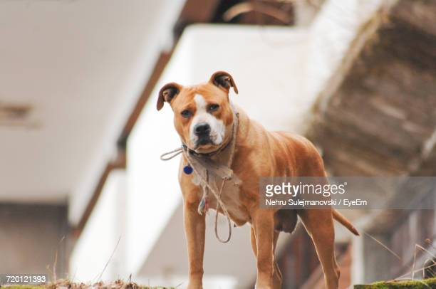 portrait of staffordshire bull terrier standing - staffordshire bull terrier stock pictures, royalty-free photos & images