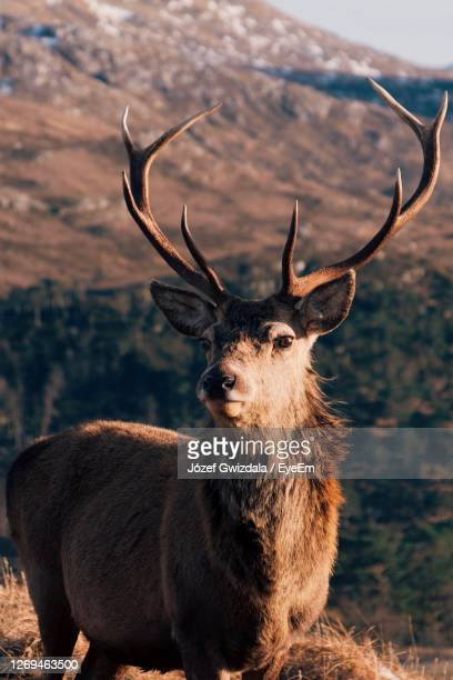 portrait of stag standing in field - red deer animal stock pictures, royalty-free photos & images