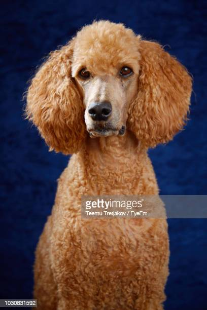 portrait of standard poodle against blue background - standard poodle stock photos and pictures