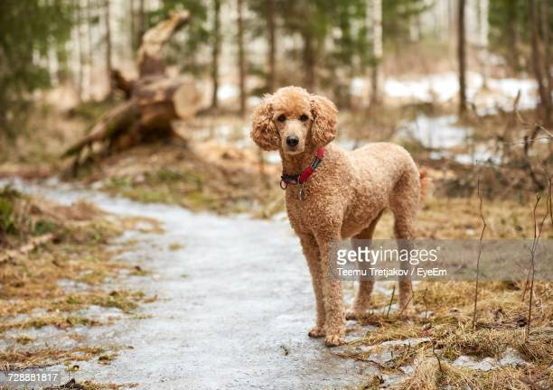 portrait of standard poodle on footpath - standard poodle stock photos and pictures