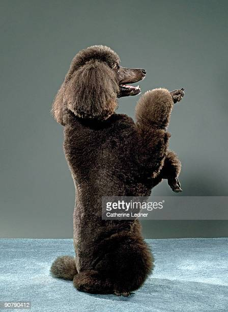 Portrait of Standard Poodle