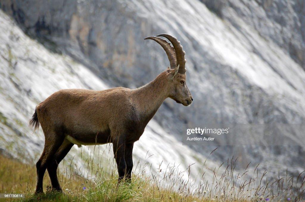 Portrait of standing Alpine ibex (Capra ibex) : Stock Photo
