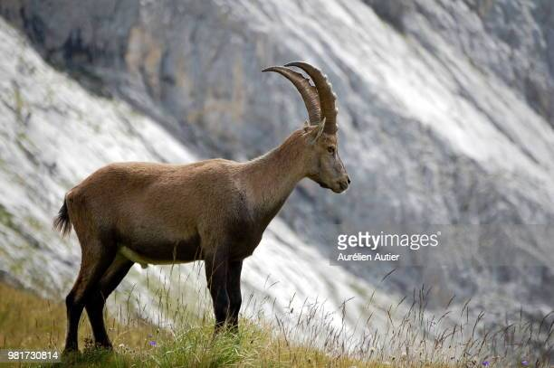 Portrait of standing Alpine ibex (Capra ibex)