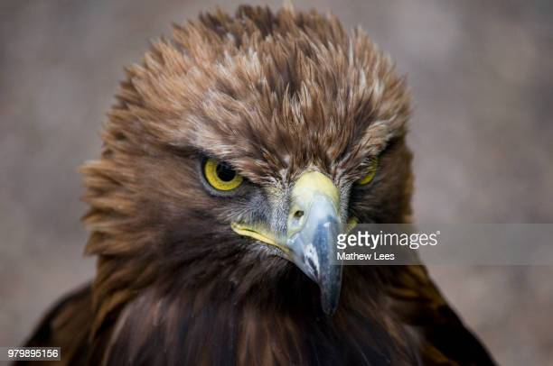 Portrait of Steppe Eagle (Aquila nipalensis)
