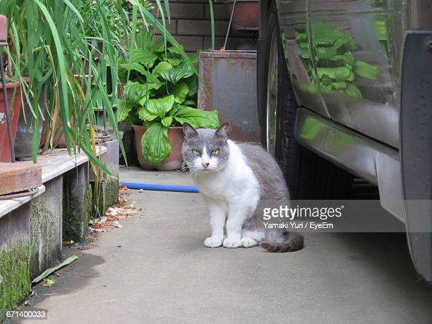 Portrait Of Stray Cat On Street By Car