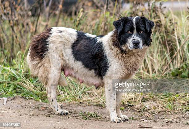 portrait of stray dog standing on road - stray animal stock pictures, royalty-free photos & images