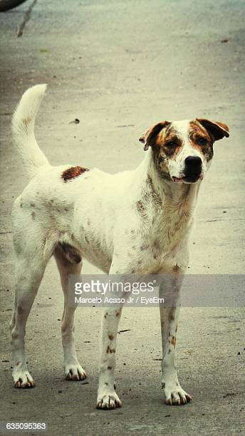 Portrait Of Stray Dog Standing On Street