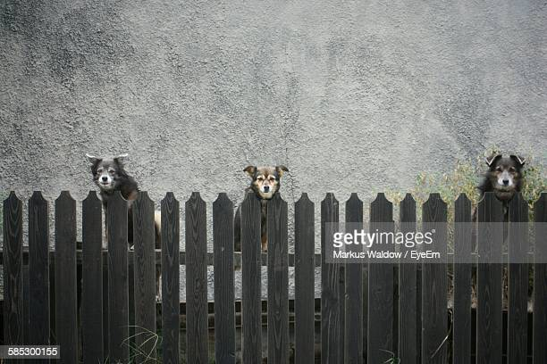 Portrait Of Stray Dogs Looking Over Picket Fence Against Wall