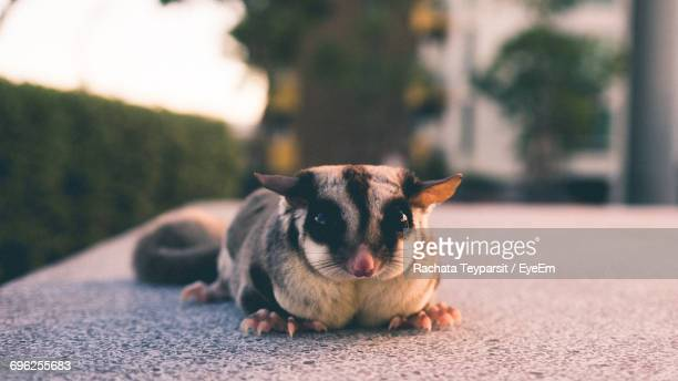 portrait of sugar glider - sugar glider stock photos and pictures