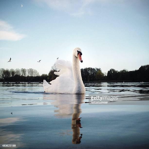 Portrait of swan swimming on lake