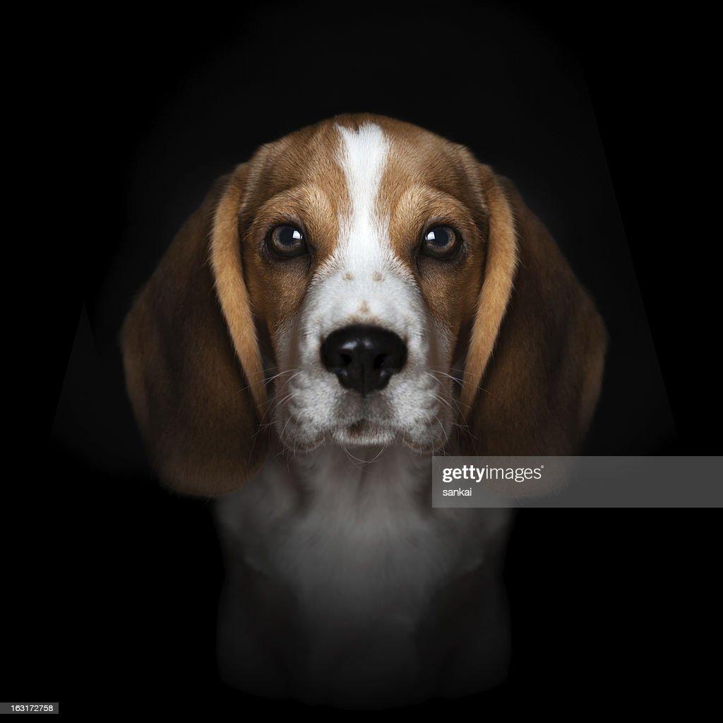 Portrait of sweet beagle puppy isolated on black background : Stock Photo
