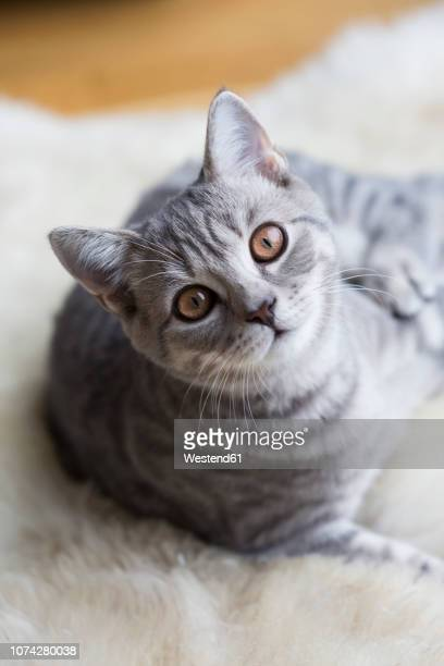 portrait of tabby british shorthair kitten - head cocked stock pictures, royalty-free photos & images