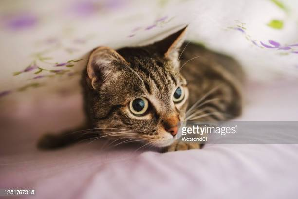 portrait of tabby cat hiding under blanket - cat hiding under bed stock pictures, royalty-free photos & images