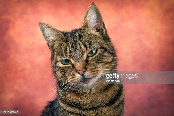 Portrait of tabby cat in front of reddish background