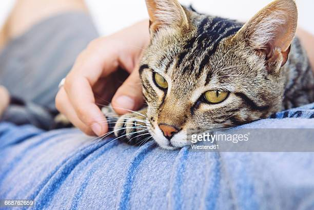 Portrait of tabby cat lying on mans chest