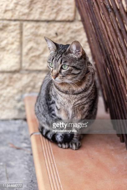 portrait of tabby cat on floor. - mjrodafotografia fotografías e imágenes de stock