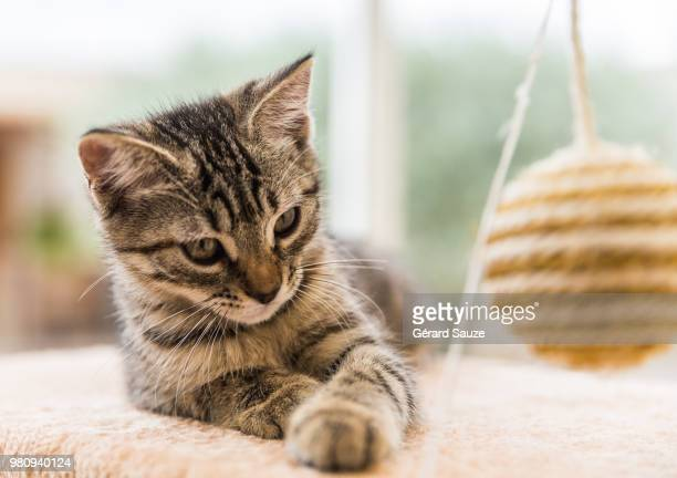 portrait of tabby cat playing with ball - félidés photos et images de collection