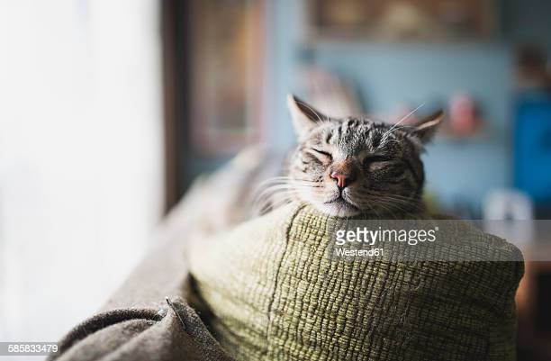 Portrait of tabby cat sleeping on the backrest of a couch