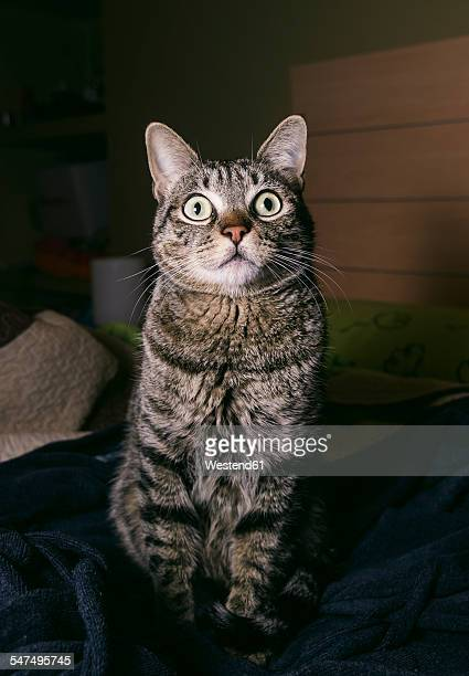 Portrait of tabby cat with eyes wide open