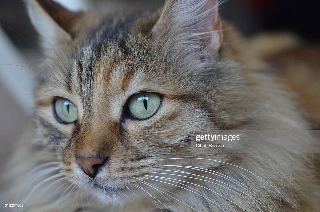 Portrait of tabby cat with green eyes : Stock Photo