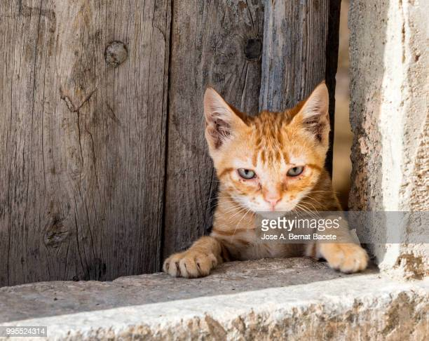 Portrait of tabby cat young, with green eyes, looking at the camera for the hole of a door of wooden.