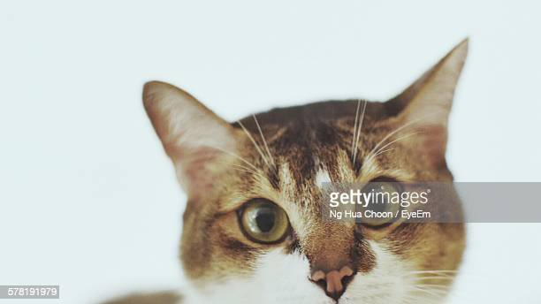 Portrait Of Tabby Over White Background