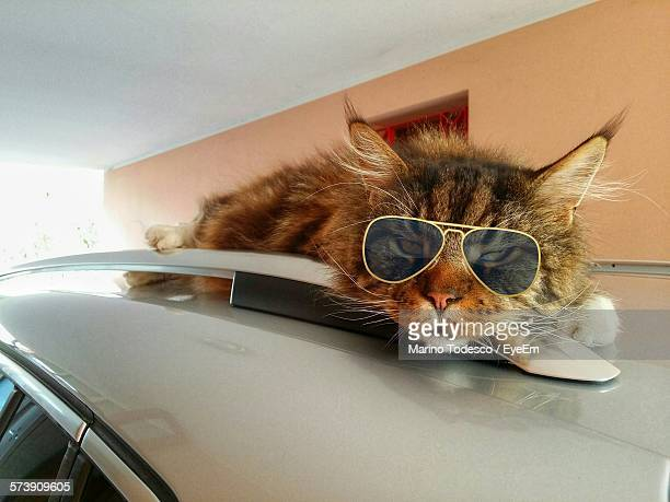 Portrait Of Tabby Wearing Sunglasses Lying On Car Roof