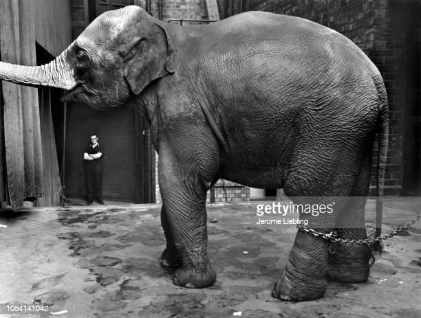 Portrait of Tanya a twoyearold elephant a chain around her leg as she stands outside the Palladium Theater London England June 1967 A man with folded...