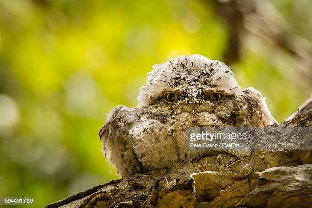 Portrait Of Tawny Frogmouth Perching On Tree Trunk