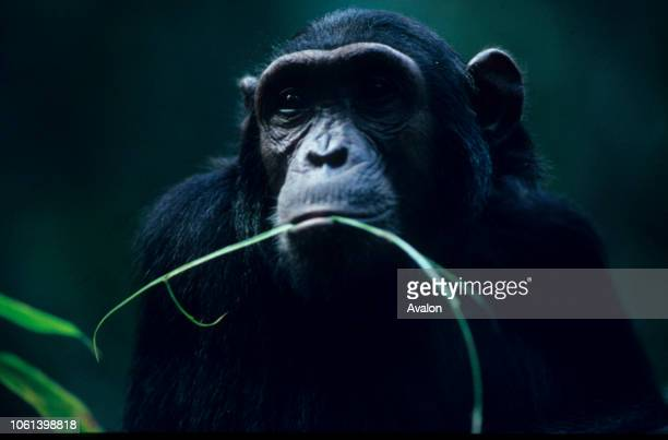 Portrait of teenage Chimpanzee at Mahale National Park Tanzania Date 250608