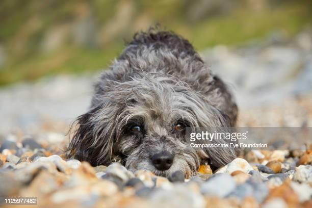 Portrait of Terrier lying down on beach