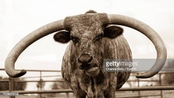 portrait of texas longhorn cattle in pen against clear sky - texas longhorn cattle stock photos and pictures